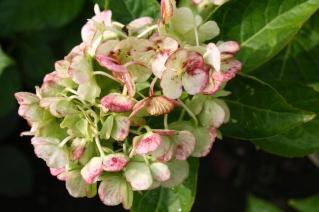 Late summer hydrangea