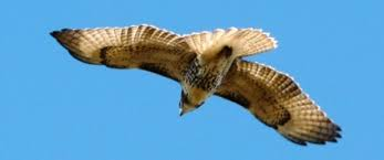 Not sure if he's an eagle ...impressive wing span nonetheless.