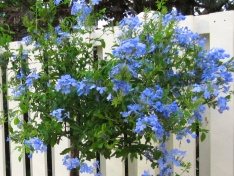 Plumbago which I fell in love with in Bermuda.
