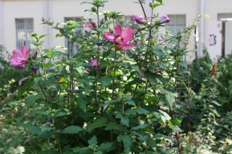 Rose of Sharon which I adore.They bloom forever.